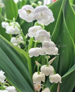 CONVALLARIA (LILY OF THE VALLEY) MAJALIS 'HARDWICK HALL' PLANT PIPS I (25 P.BAG)