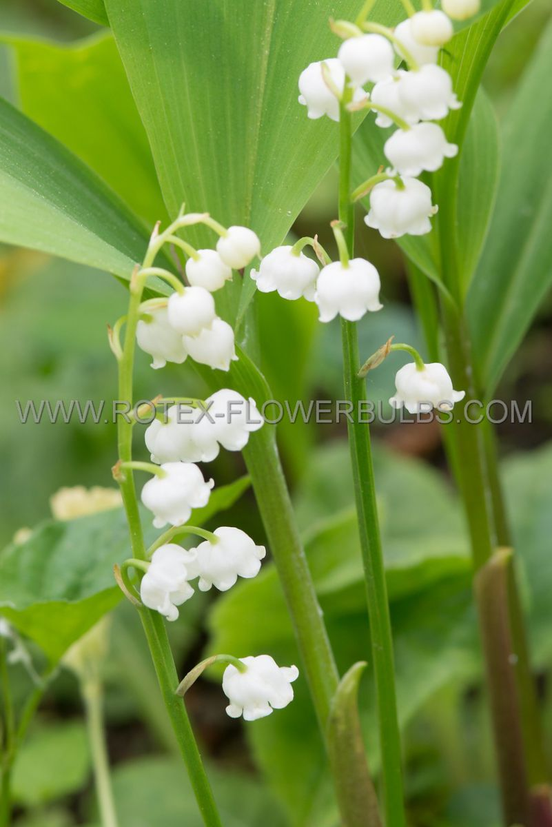 convallaria lily of the valley majalis plant pips i 25 pbag
