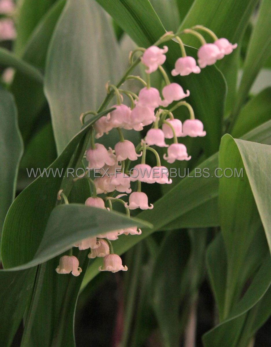 convallaria lily of the valley majalis rosea plant pips i 25 pbag
