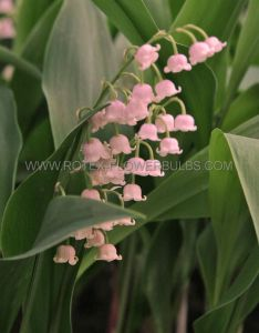CONVALLARIA (LILY OF THE VALLEY) MAJALIS 'ROSEA' PLANT PIPS I (25 P.BAG)