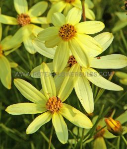 COREOPSIS (TICKSEED) VERTICILLATA 'MOONBEAN' I (25 P.BAG)