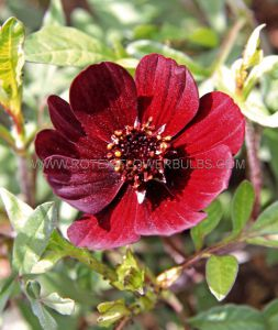COSMOS (CHOCOLATE COSMOS) ATROSANGUINEUS I (25 P.BAG)
