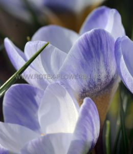 CROCUS BOTANICAL 'BLUE BIRD' 5/6 CM. (15 PKGS.X 20)