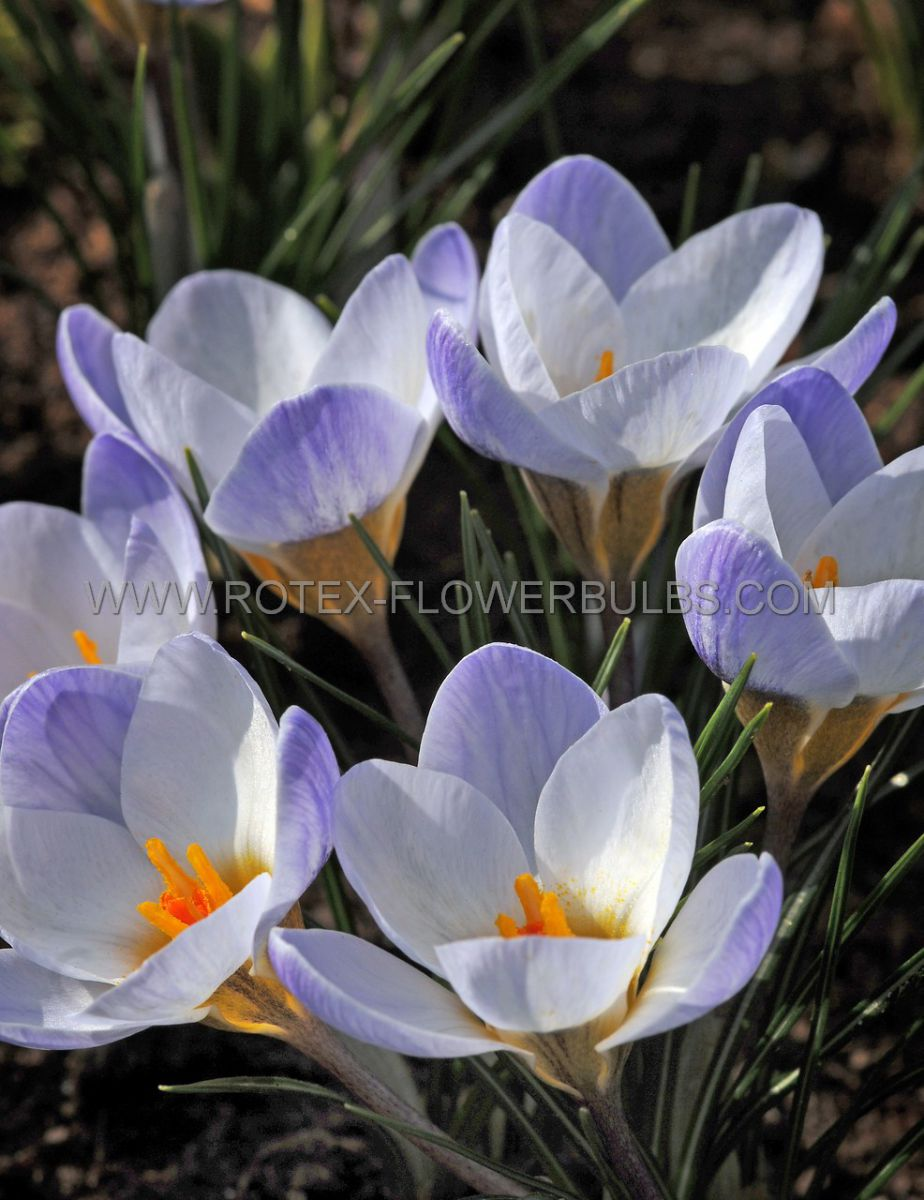 crocus botanical blue bird 56 cm 15 pkgsx 20
