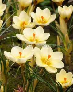 CROCUS BOTANICAL 'CREAM BEAUTY' 5/6 CM. (250 P.BINBOX)