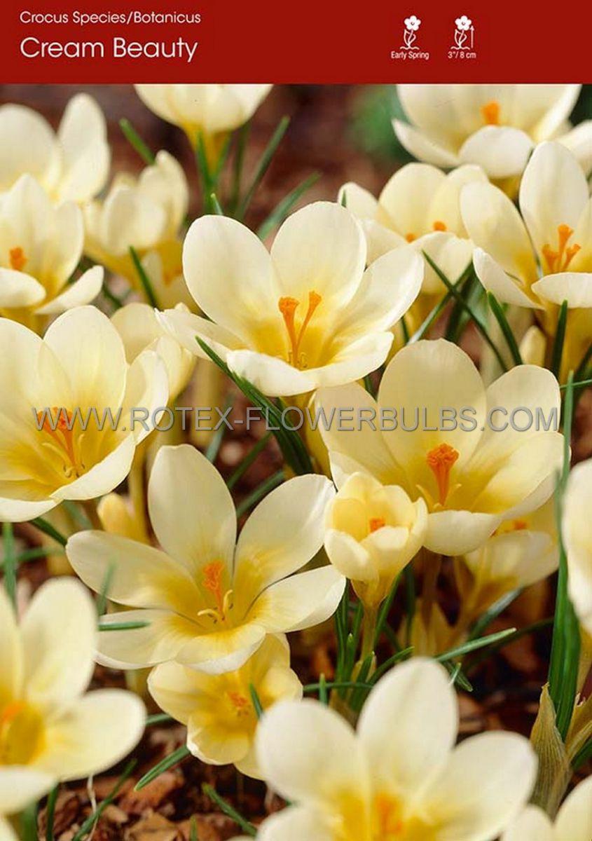 crocus botanical cream beauty 56 cm 250 pbinbox
