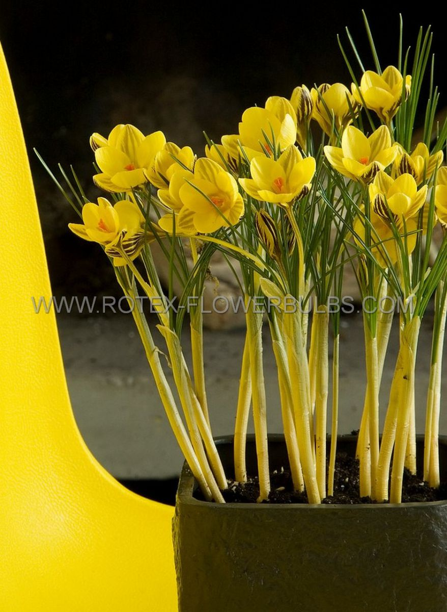 crocus botanical gipsy girl 56 cm 250 pbinbox