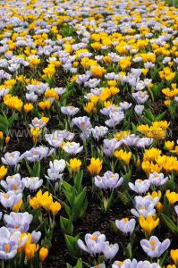 CROCUS BOTANICAL 'MIX' 5/6 CM. (15 PKGS.X 20)