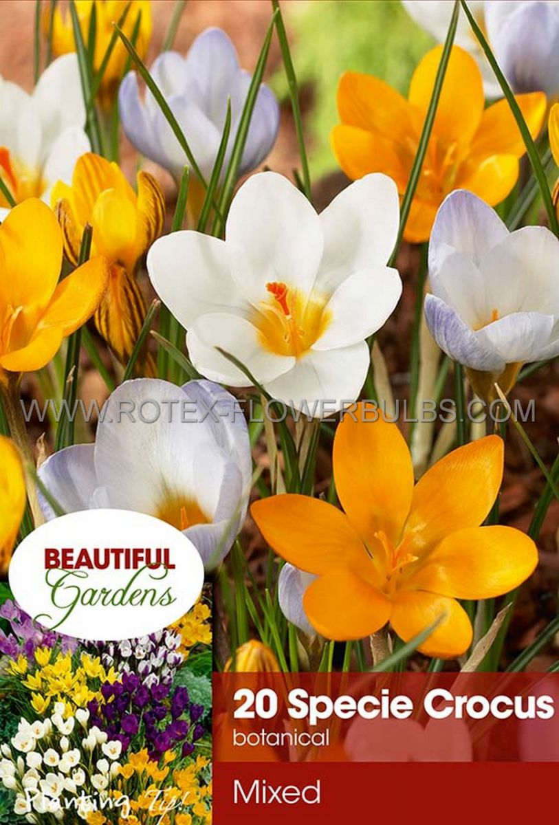 crocus botanical mix 56 cm 15 pkgsx 20