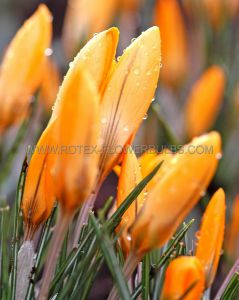 CROCUS BOTANICAL 'ORANGE MONARCH' 5/6 CM. (100 P.BINBOX)