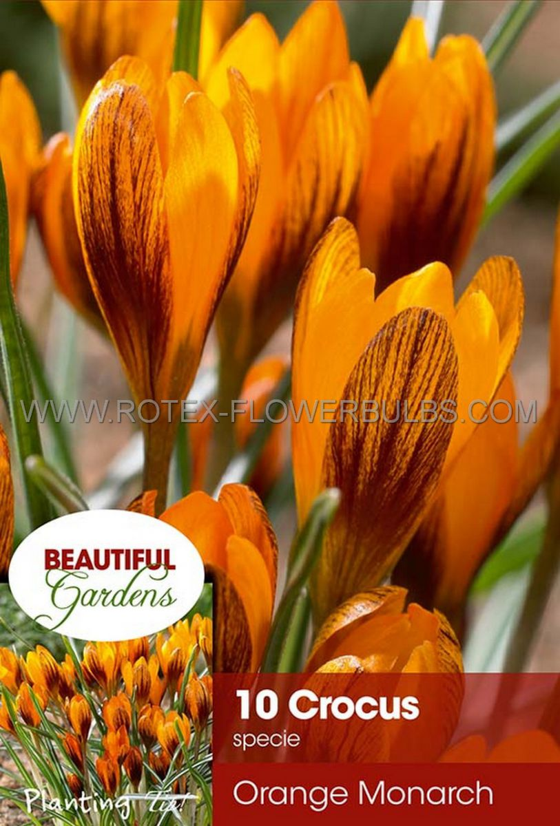 crocus botanical orange monarch 56 cm 15 pkgsx 10