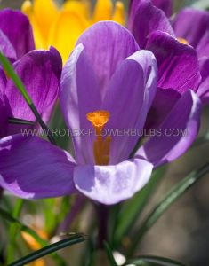 CROCUS BOTANICAL 'RUBY GIANT' 5/6 CM. (250 P.BINBOX)