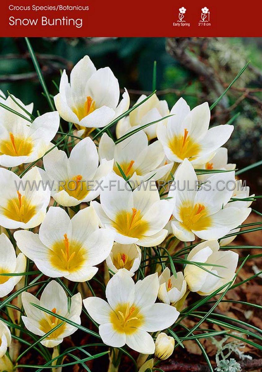 crocus botanical snowbunting 56 cm 250 pbinbox