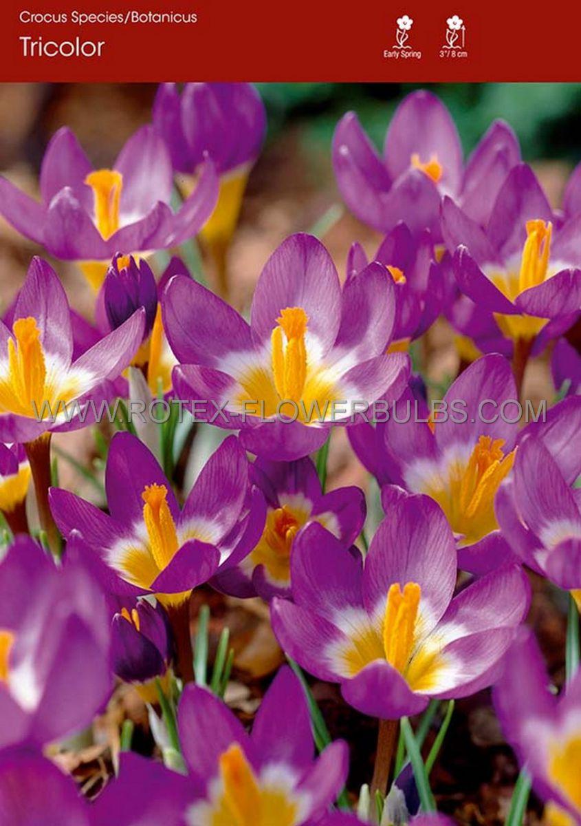 crocus botanical tricolor 56 cm 250 pbinbox