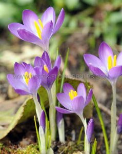 CROCUS BOTANICAL 'WHITEWELL PURPLE' 5/6 CM. (250 P.BINBOX)