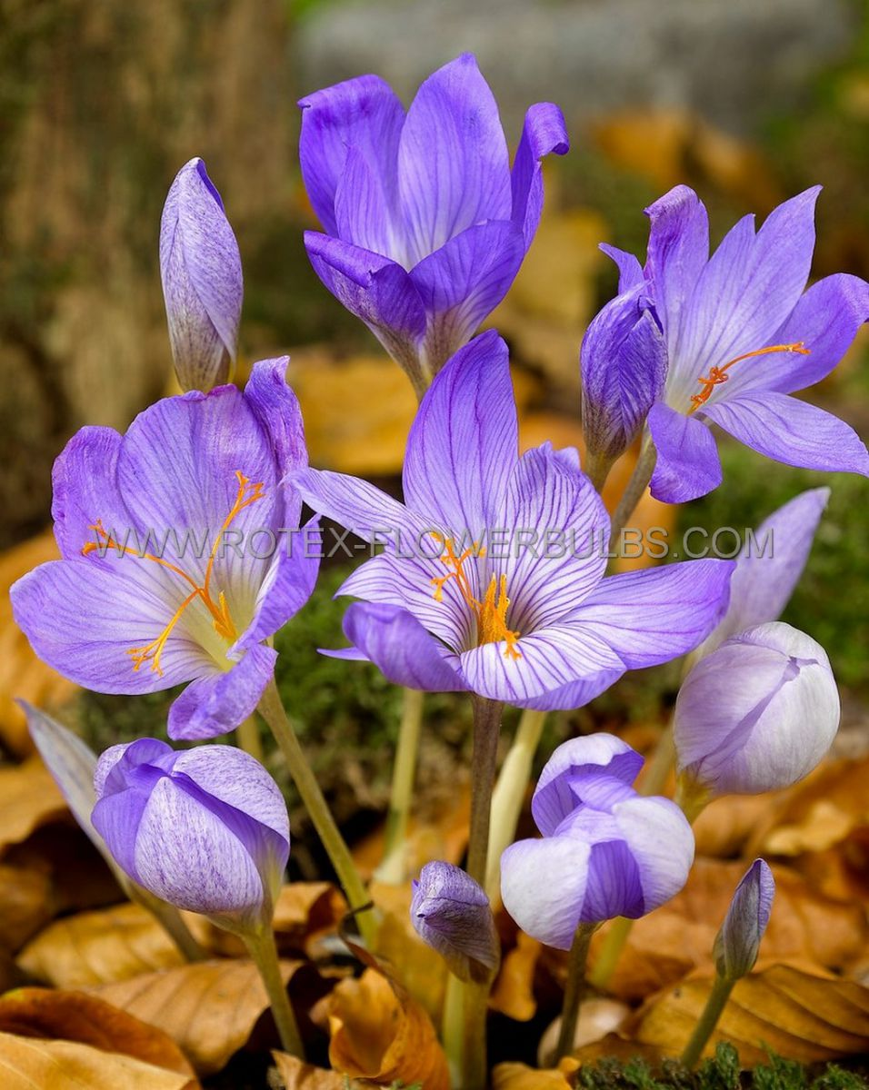 crocus fall flowering sativus 89 cm 100 pbinbox