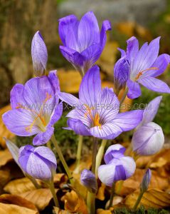 CROCUS FALL FLOWERING 'SATIVUS' 8/9 CM. (100 P.BINBOX)
