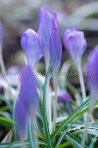 CROCUS FALL FLOWERING 'SPECIOSUS' 5/6 CM. (100 P.BINBOX)