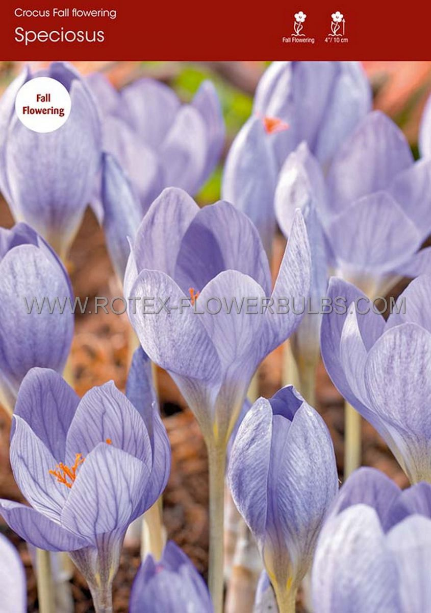 crocus fall flowering speciosus 56 cm 100 pbinbox