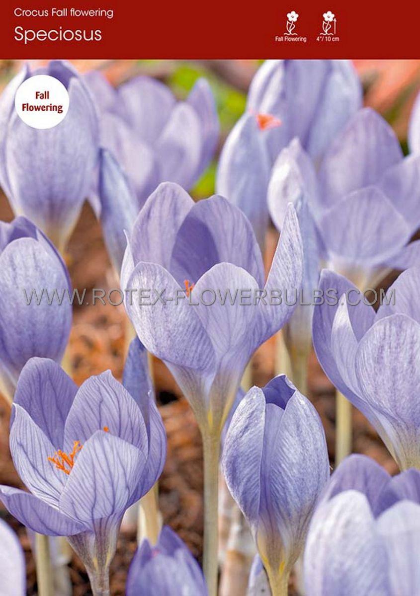 crocus fall flowering speciosus 56 cm 100 pbinbox