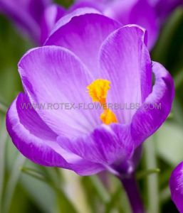 CROCUS 'REMEMBRANCE' 8/9 CM. (15 PKGS.X 10)