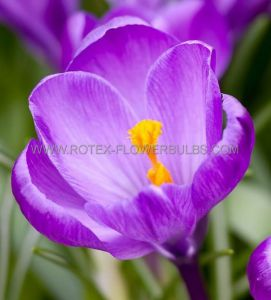 CROCUS 'REMEMBRANCE' 9/10 CM. (250 P.BINBOX)