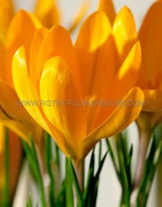CROCUS 'YELLOW MAMMOTH' 8/9 CM. (15 PKGS.X 10)