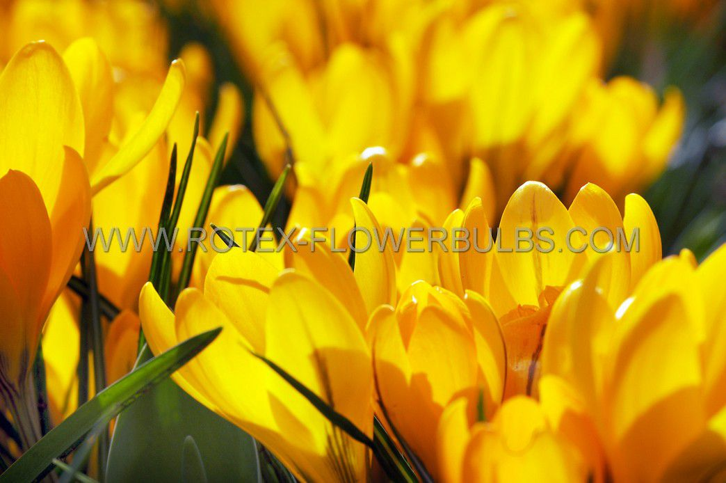 crocus yellow mammoth 89 cm 15 pkgsx 10