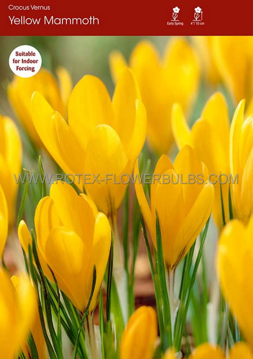 crocus yellow mammoth 910 cm 250 pbinbox