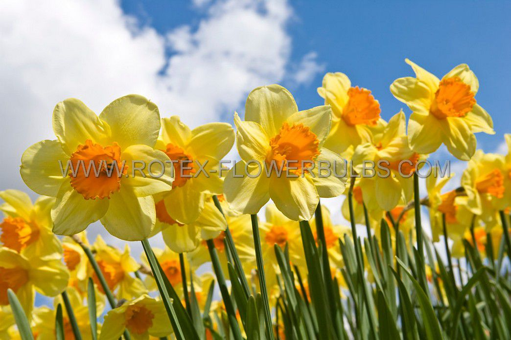 daffodil narcissus trumpet bright jewel 1416 50 pbinbox