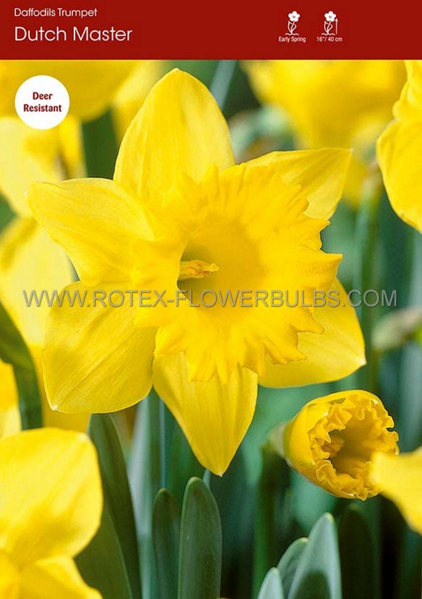 daffodil narcissus trumpet dutch master 1214 300 pplastic tray