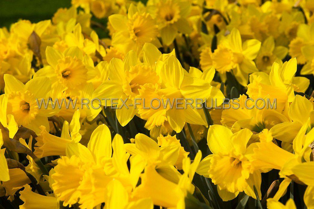 daffodil narcissus trumpet dutch master 1416 50 pbinbox