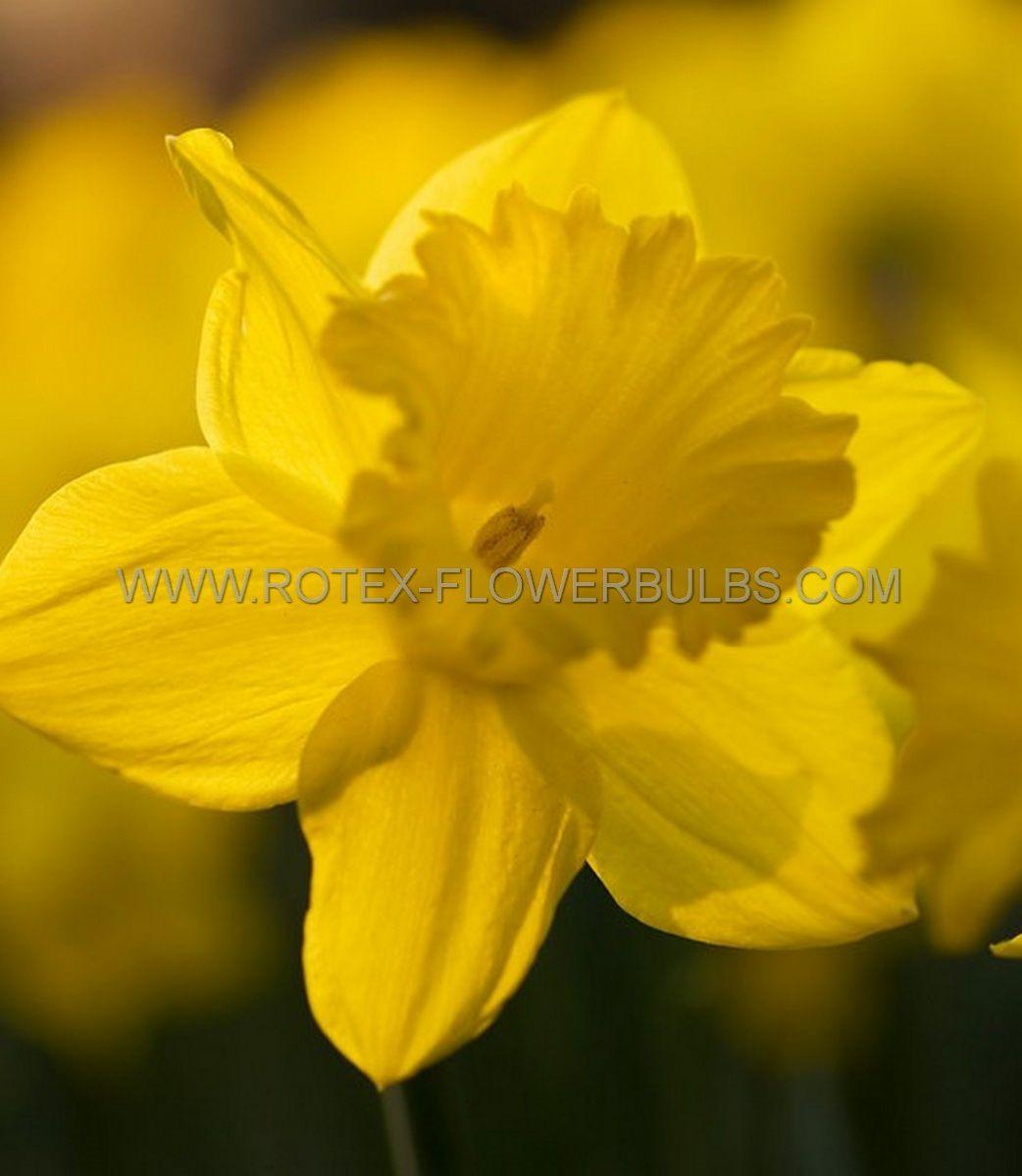 daffodil narcissus trumpet dutch master 1618 150 pplastic tray