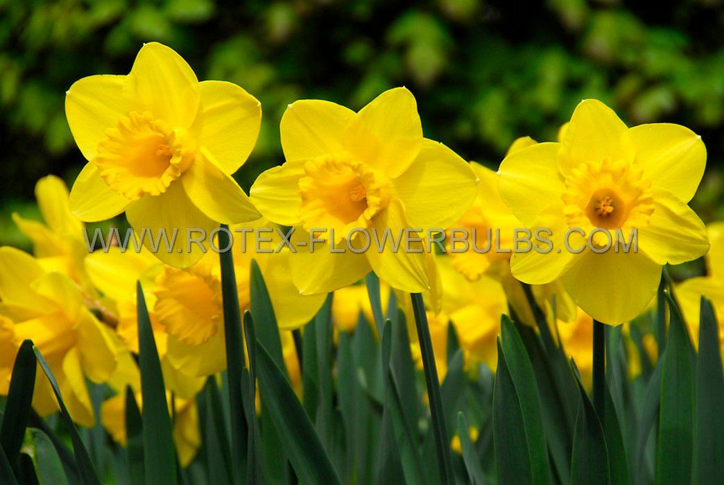 daffodil narcissus trumpet exception 1214 300 pplastic tray