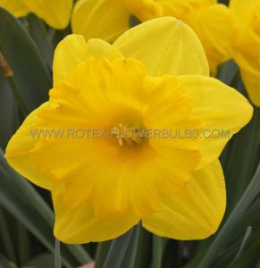 DAFFODIL (NARCISSUS) TRUMPET 'EXCEPTION' 14-16 (200 P.PLASTIC TRAY)
