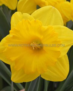 DAFFODIL (NARCISSUS) TRUMPET 'EXCEPTION' 14-16 (8 PKGS.X 5)