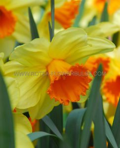 DAFFODIL (NARCISSUS) TRUMPET 'FORTISSIMO' 12-14 (300 P.PLASTIC TRAY)