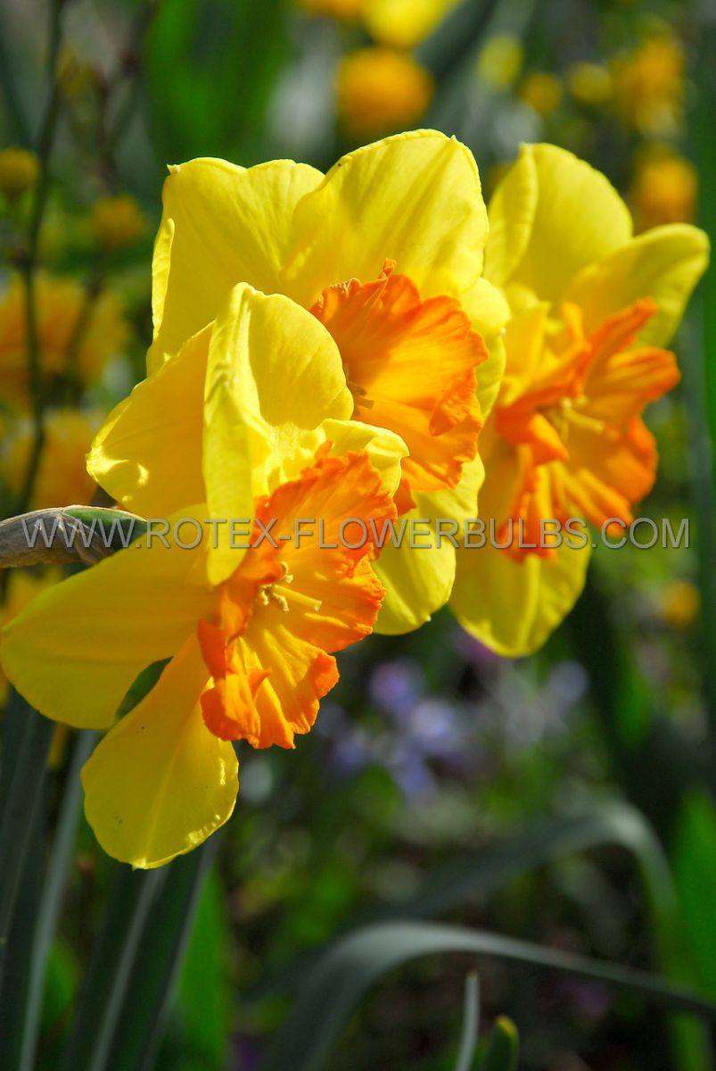 daffodil narcissus trumpet fortissimo 1214 300 pplastic tray