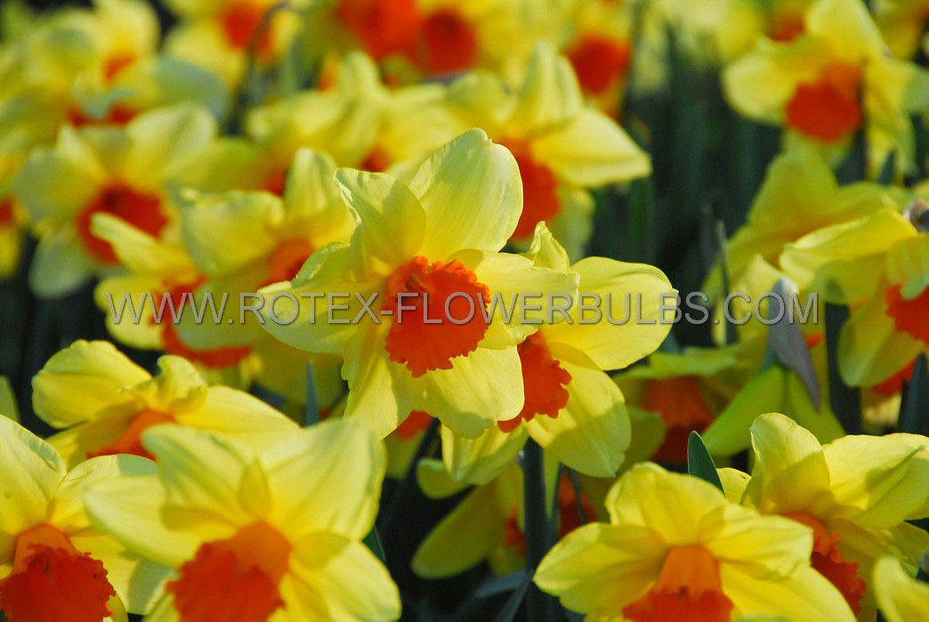 daffodil narcissus trumpet fortissimo 1416 50 pbinbox