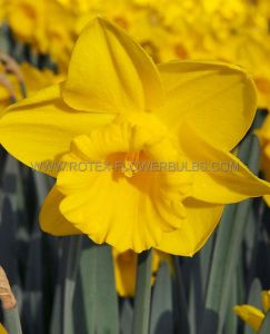 DAFFODIL (NARCISSUS) TRUMPET 'KING ALFRED' TYPE 12-14 (300 P.PLASTIC TRAY)