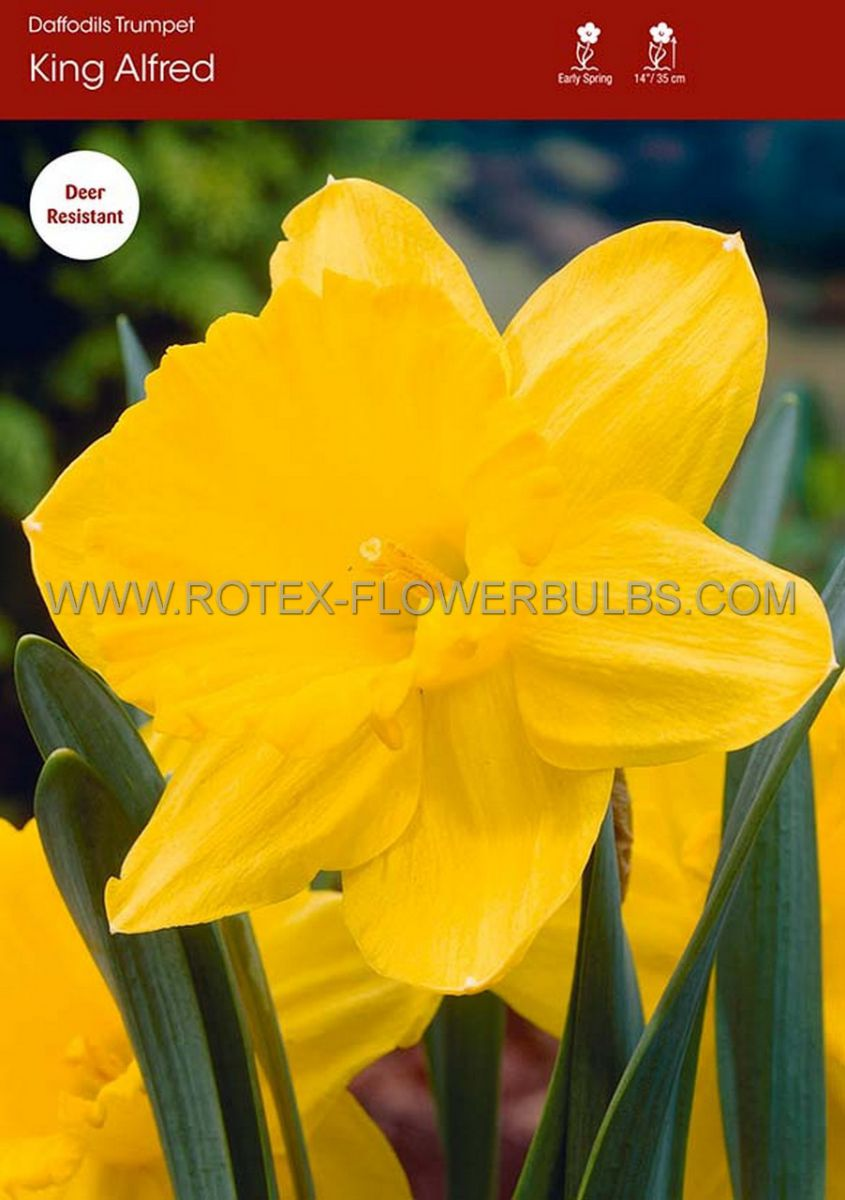 daffodil narcissus trumpet king alfred type 1214 300 pplastic tray