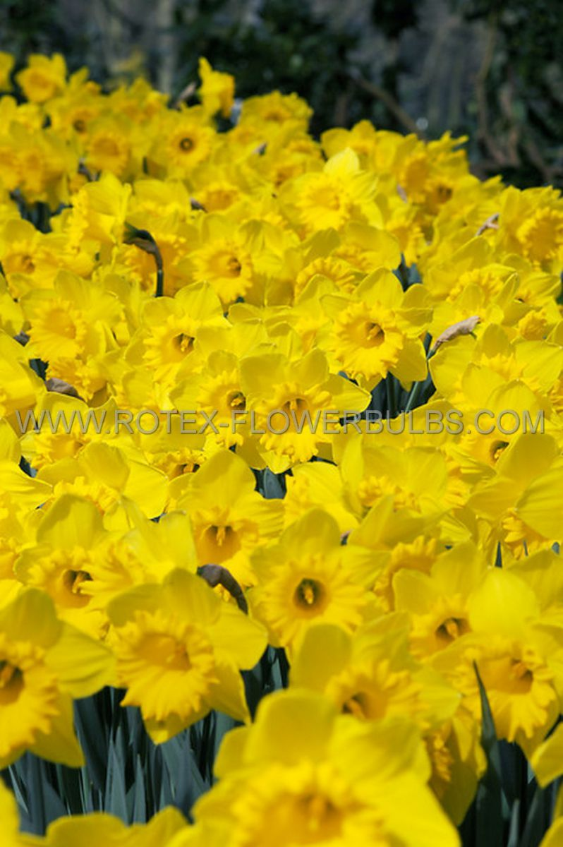 daffodil narcissus trumpet king alfred type 1416 8 pkgsx 5