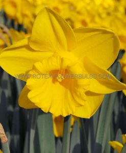 DAFFODIL (NARCISSUS) TRUMPET 'KING ALFRED' TYPE 16-18 (150 P.WOODEN CRATE)