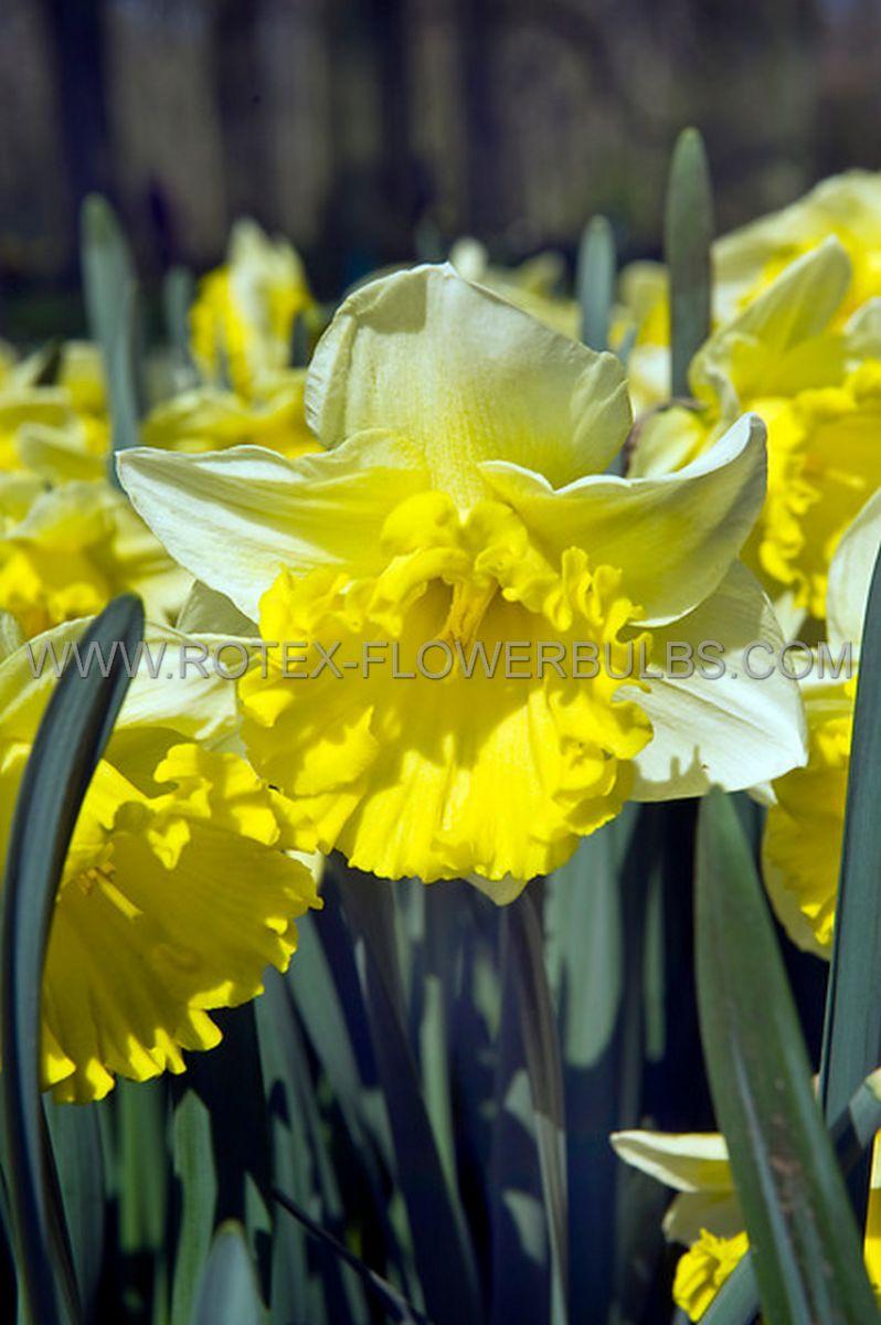 daffodil narcissus trumpet las vegas 1214 300 pplastic tray