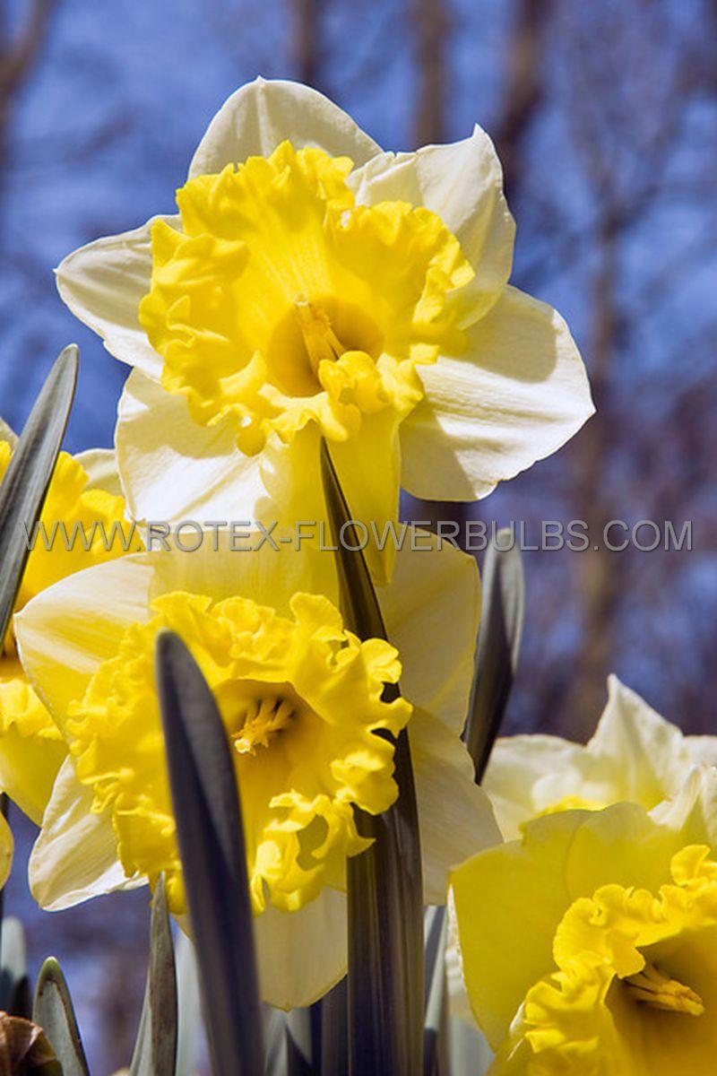 daffodil narcissus trumpet las vegas 1416 200 pplastic tray