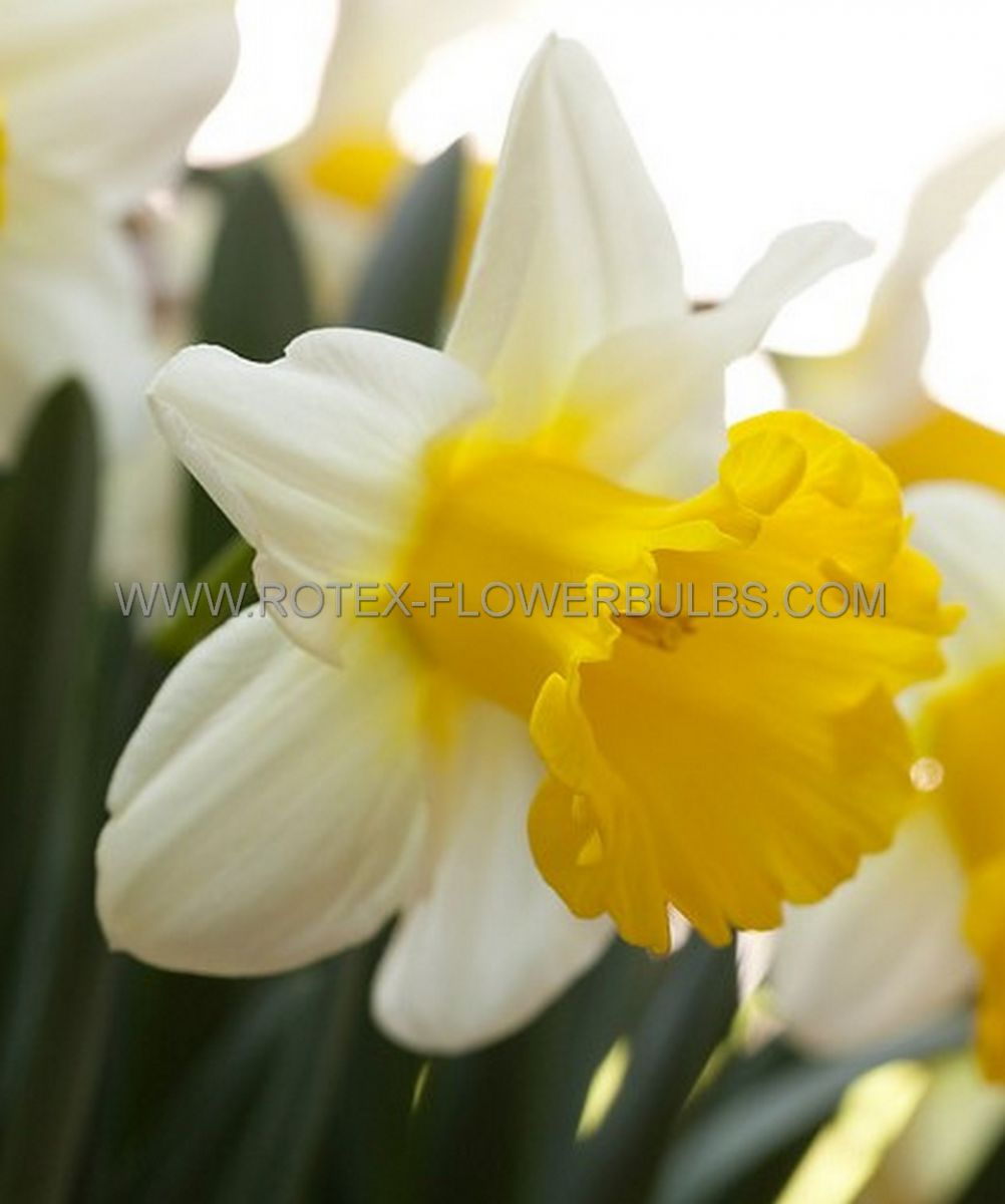 daffodil narcissus trumpet las vegas 1618 150 pplastic tray