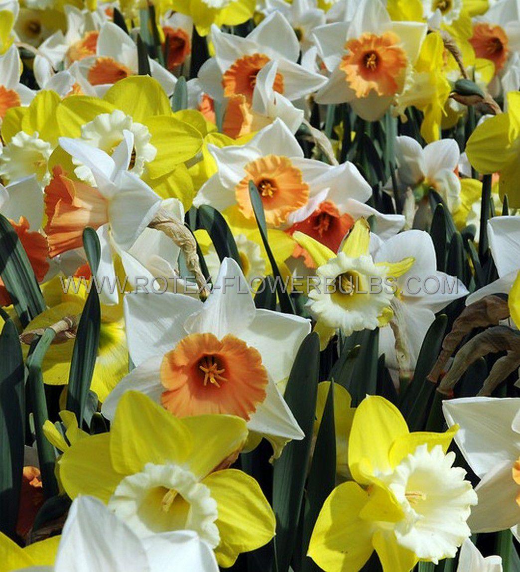 daffodil narcissus trumpet mix 1214 300 pplastic tray