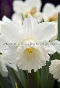 DAFFODIL (NARCISSUS) TRUMPET 'MOUNT HOOD' 12-14 (300 P.PLASTIC TRAY)