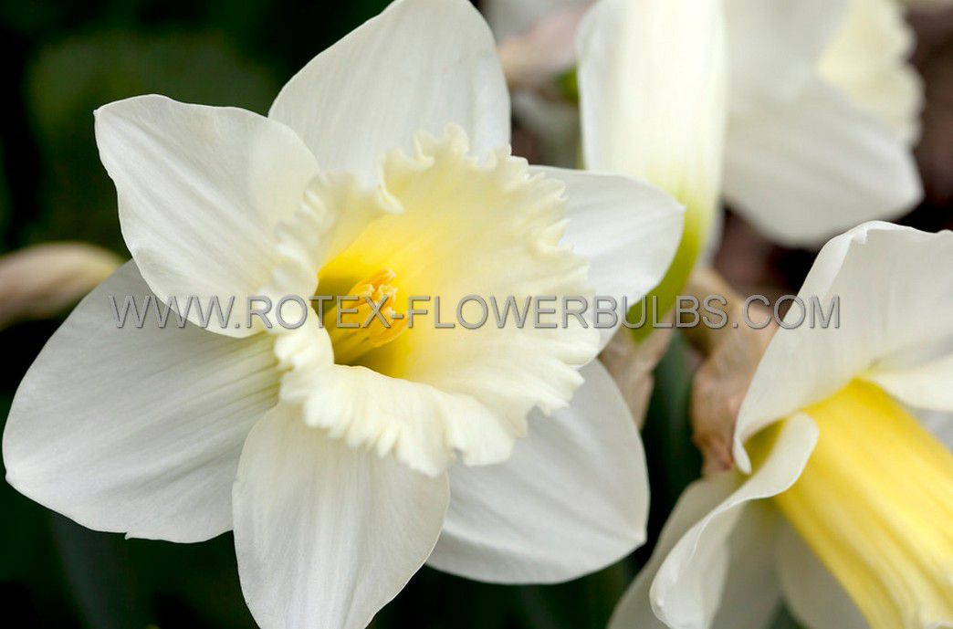 daffodil narcissus trumpet mount hood 1618 150 pplastic tray