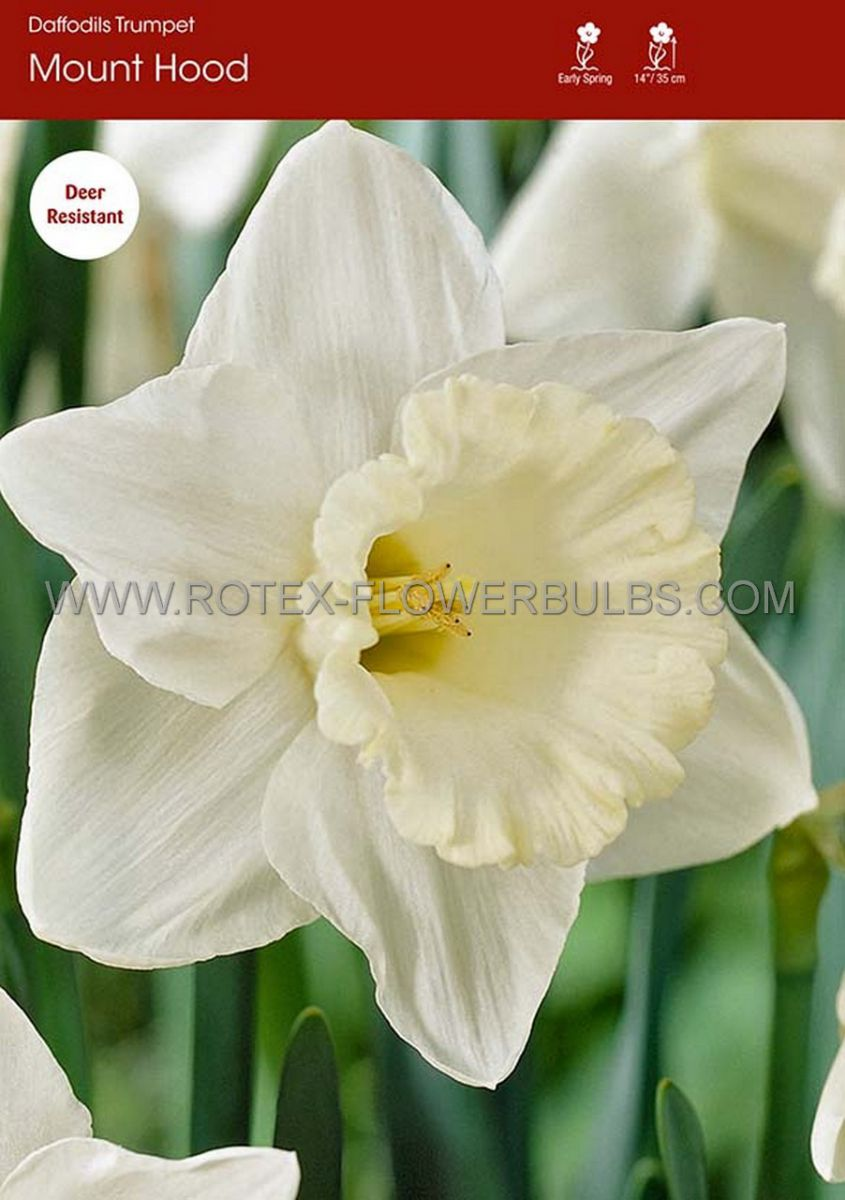daffodil narcissus trumpet mount hood 1618 150 pplastic tray